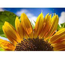 Sunflower's Golden Moment Photographic Print