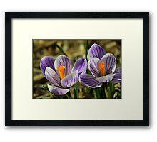 Pair of Blooming Crocuses Framed Print