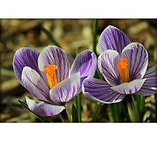 Pair of Blooming Crocuses Photographic Print