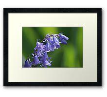 Violet-Blue English Bluebells Framed Print