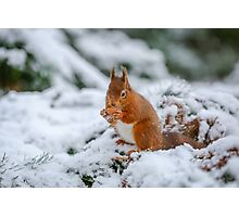 Red squirrel gathering food Photographic Print