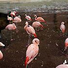 Flamingos by TJ Baccari Photography