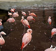 Flamingos by TJ Baccari Photography