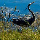 Posing Great Blue Heron by ValeriesGallery