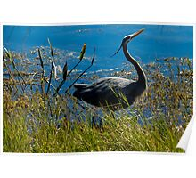 Posing Great Blue Heron Poster