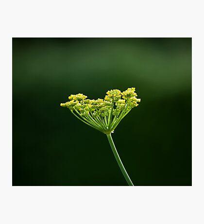 Fennel flower head Photographic Print
