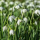 Snowdrops by Lisa Kent