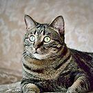 Hercules - Handsome Manx Cat by Laurast