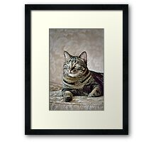 Hercules - Handsome Manx Cat Framed Print