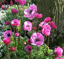 So Pretty-in-Pink - Anemones in the Keukenhof Gardens by BlueMoonRose