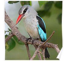 Woodland kingfisher profile Poster