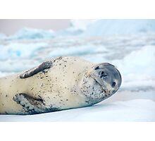 Lazing leopard seal Photographic Print