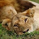 dreamy lioness by roger smith