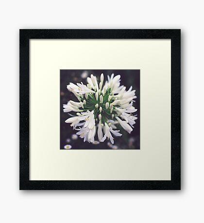 White Agapanthus Framed Print