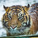 Tiger in the SNow by lendale