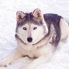 Husky in snow by rmcbuckeye