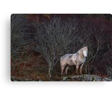Scottish Highland Pony Canvas Print