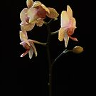 Orchid in natural light No.2 by Andy Duffus