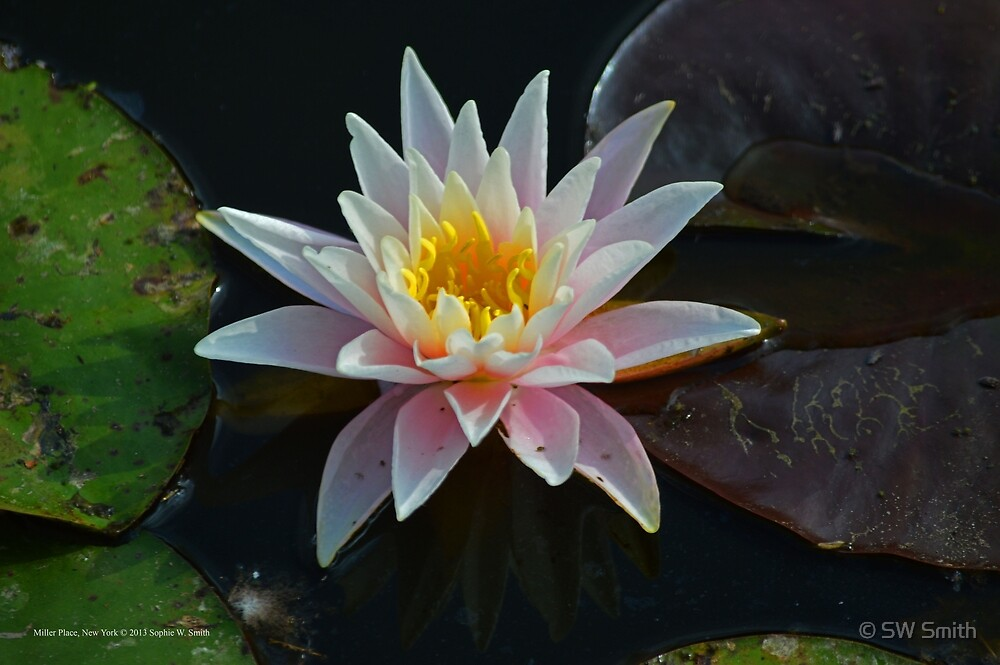 Nymphaea Alba - White Lotus | Miller Place, New York by © Sophie W. Smith