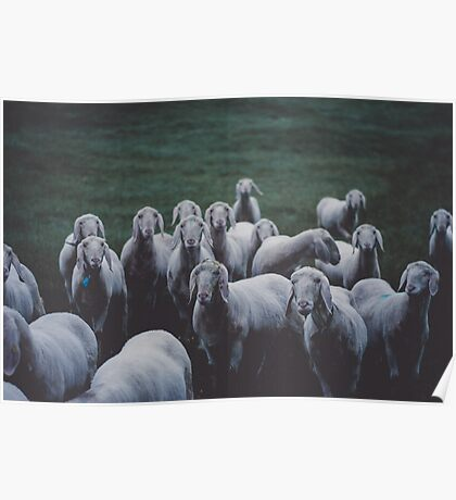 Sheep gang landscape animal photography Poster