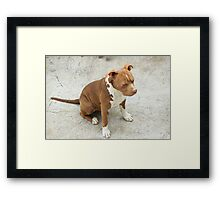 Pit Bull With Closed Eyes Framed Print