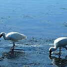 *Wading Birds, Tower Hill, Vic. Australia* by EdsMum