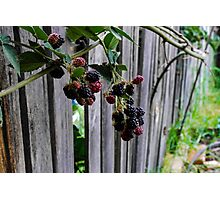 Blackberries Photographic Print