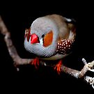 zebra finch by Perggals© - Stacey Turner