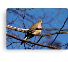 Mourning Dove In Winter Light Canvas Print