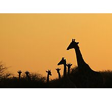Giraffe Silhouette - African Wildlife Background - Colors in Nature Photographic Print