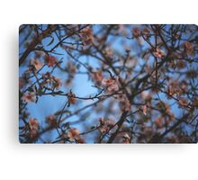 Almond Blossoms Canvas Print