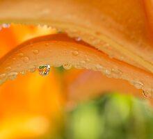 Citrus Pearl by Lynn Gedeon