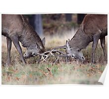 Rutting Stags Poster