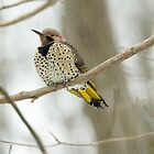 Northern Flicker - Yellow shafted - Colaptes auratus auratus by MotherNature