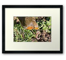 A Robin's Slippery Meal Framed Print