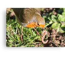 A Robin's Slippery Meal Canvas Print
