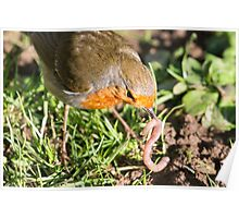 A Robin's Slippery Meal Poster