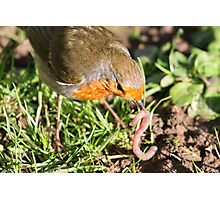 A Robin's Slippery Meal Photographic Print