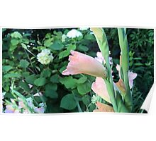 Sword lily flower in summer Poster