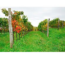 Autumn Grape Vines Near Abbazia Rosazzo Photographic Print