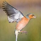 Hovering Chaffinch by M.S. Photography/Art