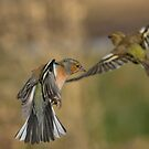 Chaffinches in flight by M.S. Photography/Art