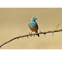 Blue Waxbill - Colorful Exotic Birds from Africa - Colors in Nature Photographic Print