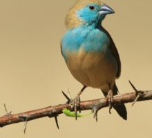 Blue Waxbill - Colorful Exotic Birds from Africa - Colors in Nature Sticker