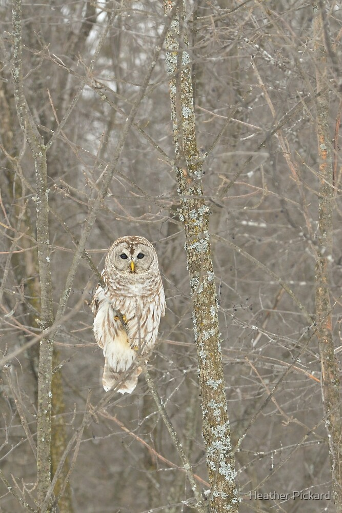 Winter Barred Owl by Heather Pickard