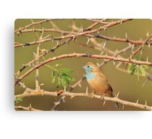 Blue Waxbill - Exotic Colorful Wild Birds from Africa - Sharp Beauty Canvas Print