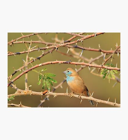 Blue Waxbill - Exotic Colorful Wild Birds from Africa - Sharp Beauty Photographic Print
