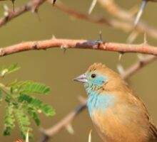 Blue Waxbill - Exotic Colorful Wild Birds from Africa - Sharp Beauty Sticker