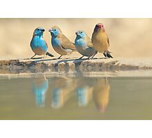 Exotic Colorful Wild Birds from Africa - Blue and Violet-eared Waxbill - Colors in Nature Photographic Print