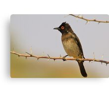 Red-eyed Bulbul - Exotic Colorful Wild Birds from Africa Canvas Print